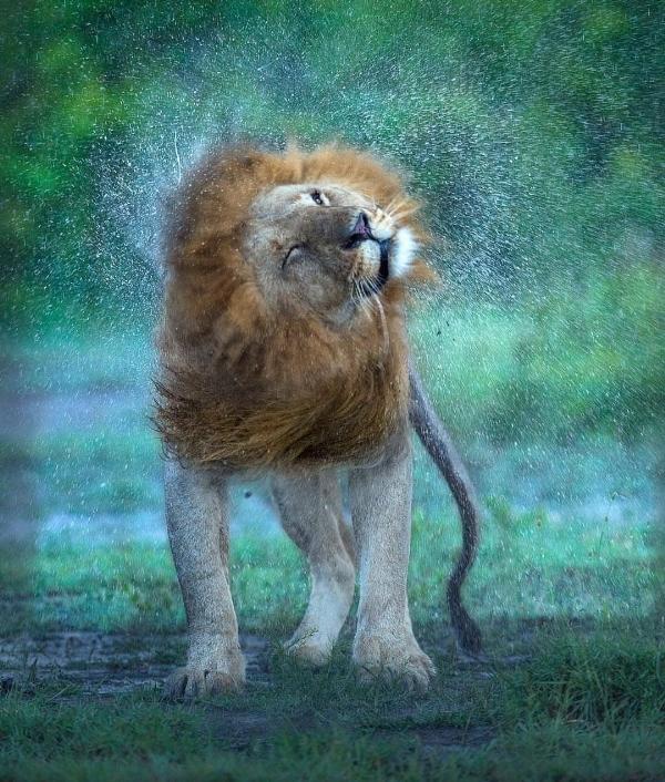 LionArt8-Shake,